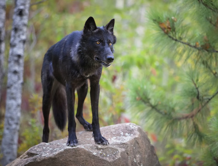 black wolf: Alert grey wolf, black phase, standing on a rock. Animal in captivity.