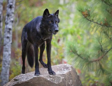 ojos negros: Alerta lobo gris, negro fase, de pie sobre una roca. Animales en cautiverio.