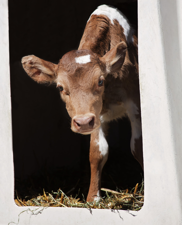 the hutch: Young, Guernsey calf peeks out of her calf hutch.