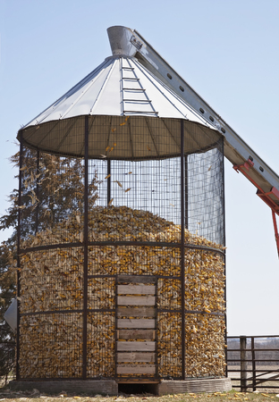 screened: Filling corn cobs into this corn crib during fall harvest in Wisconsin.