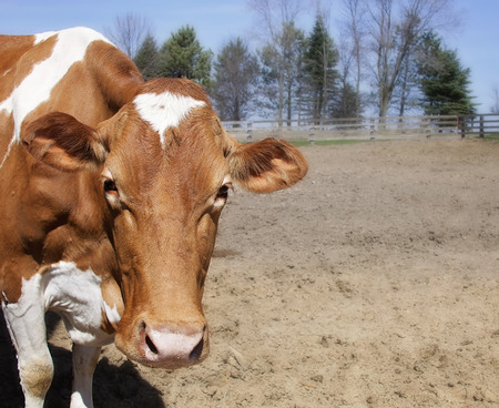 Head and shoulders image of a Guernsey cow looking at the camera. Stock Photo