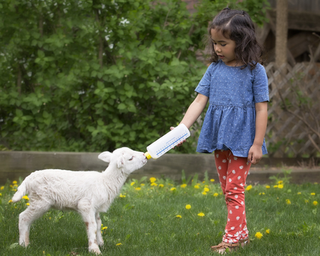 a young baby: Young girl bottle feeding a baby Katahdin lamb