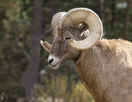 borrego cimarron: Close up head and shoulders image of a Rocky Mountain Bighorn Sheep ram