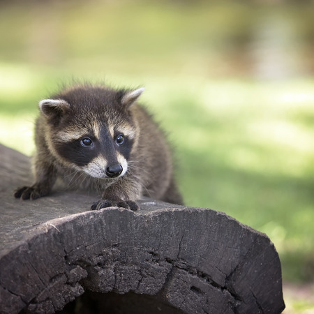 Close up image of a young raccoon, standing on a fallen log.  Shallow depth of field.