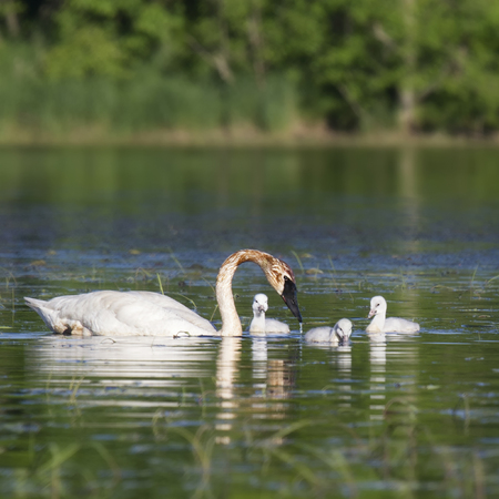 trumpeter swan: Trumpeter swan with her three young cygnets.  Springtime in Wisconsin.