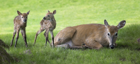 mother and baby deer: White-tailed deer doe with her newborn twin fawns.  Springtime in Wisconsin. Stock Photo
