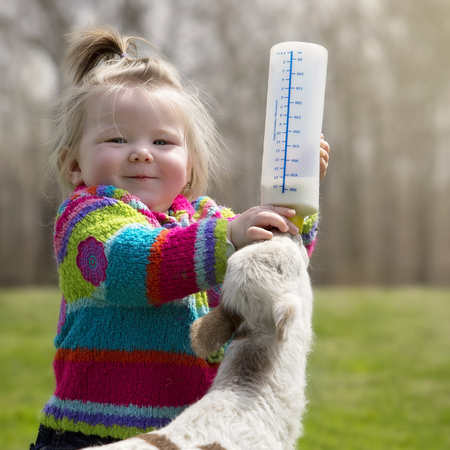 orphaned: Cute, young girl, bottle feeding milk to orphaned Katahdin lamb.