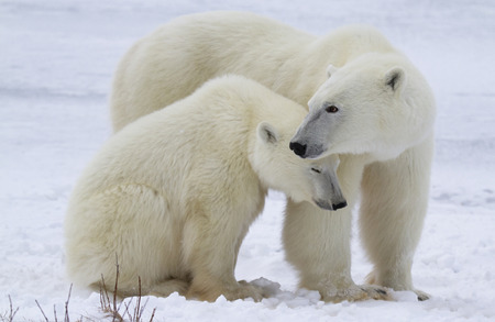 churchill: Close up image of a polar bear sow protecting her cub.  Churchill, Manitoba, Canada.