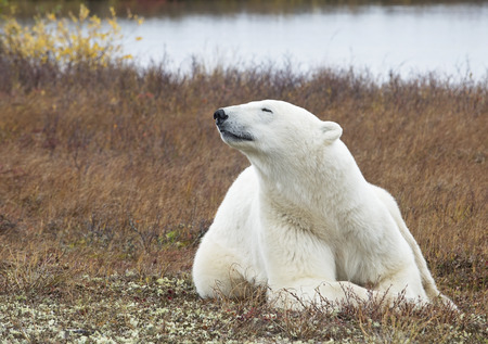 manitoba: Adult polar bear lying on the tundra, catching a scent.  Churchill, Manitoba, Canada.