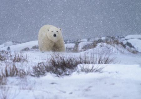 churchill: Polar bear in a snowstorm, with soft focus.  Churchill, Manitoba, Canada.