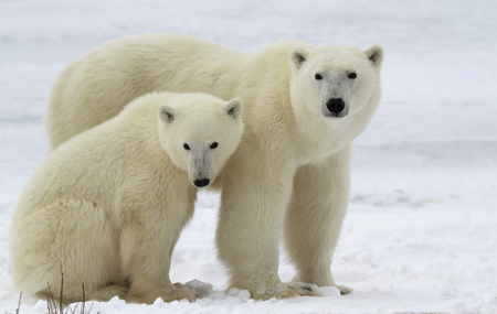 churchill: Polar bear sow with her cub on the frozen tundra.  Late autumn in Churchill, Manitoba, Canada.