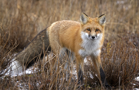 manitoba: Red fox stops to look at the camera.  Autumn in Churchill, Manitoba, Canada.
