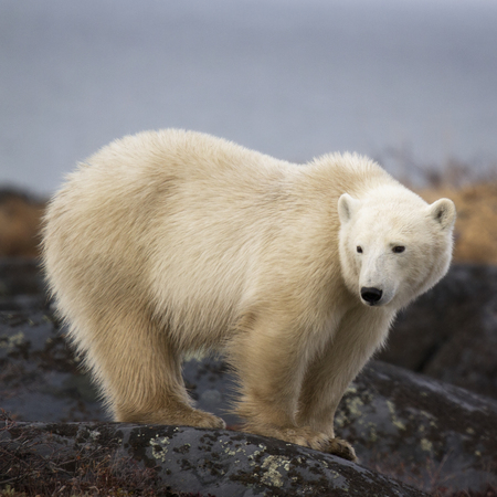 manitoba: Polar bear sow standing on a boulder.  Autumn in Churchill, Manitoba, Canada. Stock Photo