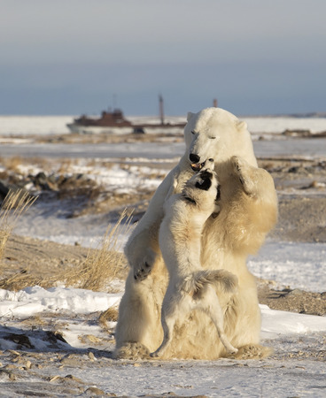 churchill: Canadian Eskimo dog retaliates as polar bear plays too rough.  Mile 5, Churchill, Manitoba, Canada.  Neither animal was harmed Stock Photo