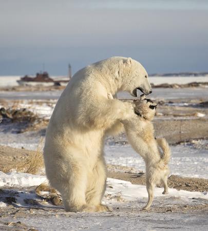 Canadian Eskimo dog retaliates as polar bear plays too rough.  Mile 5, Churchill, Manitoba, Canada.  Neither animal was harmed Stock Photo