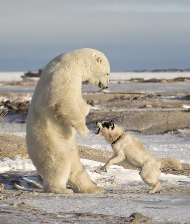harmed: Canadian Eskimo dog retaliates as polar bear plays too rough.  Mile 5, Churchill, Manitoba, Canada.  Neither animal was harmed Stock Photo