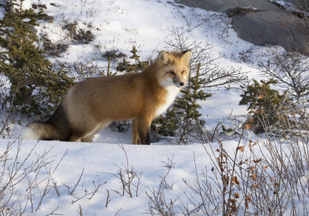 canada: Close up image of a red fox who stops and listens for its prey.  Autumn in Churchill, Manitoba, Canada