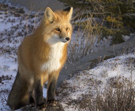 중지하고 먹이를 수신 붉은 여우의 이미지를 닫습니다. 처칠, 매니토바, 캐나다에서가