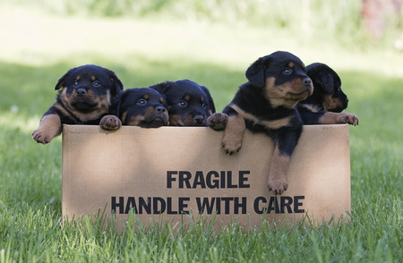 A box of young, purebred Rottweiler puppies