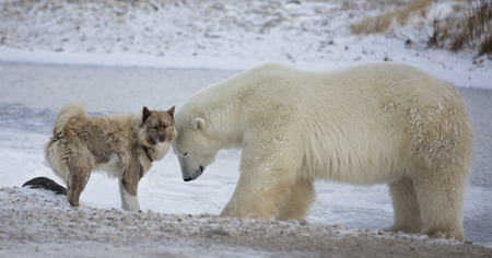 An unlikely pair.  Polar bear and Canadian Eskimo Dog.  Late autumn in Churchill, Manitoba, Canada Stock Photo - 68130680