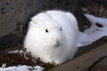겨울 모피 북극 토끼의 이미지를 닫습니다