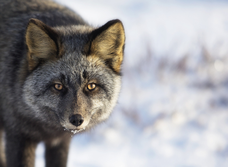 churchill: Close up, head and shoulders image of a silver fox in the wild.  Churchill, Manitoba, Canada.