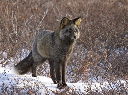 churchill: Silver fox, in the wild, in Churchill, Manitoba, Canada.