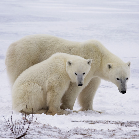 manitoba: Close up image of a polar bear sow with her cub.  Late autumn in Churchill, Manitoba, Canada.