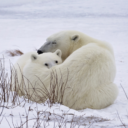 square image: Square, close up image of a polar bear sow and cub, under a watchful eye.  Churchill, Manitoba, Canada.