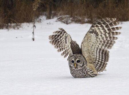 Barred Owl captures prey under the snow.  Winter in northern Wisconsin.