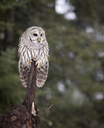 Close up image of a Barred Owl in the wild.  Winter in northern Wisconsin. Stock Photo