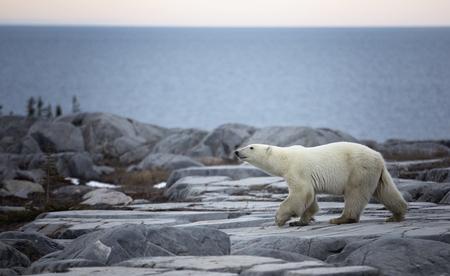 churchill: Polar bear walks along the coast of the Hudson Bay, in Churchill, Manitoba, Canada.