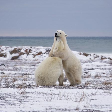 Two polar bears sparring on the tundra near the Hudson Bay.  Churchill, Manitoba, Canada.