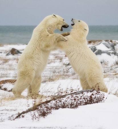 manitoba: Two polar bears sparring on the coast of the Hudson Bay in Churchill, Manitoba, Canada. Stock Photo