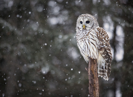 Close up image of a barred owl, in the wild,perched on a tree.