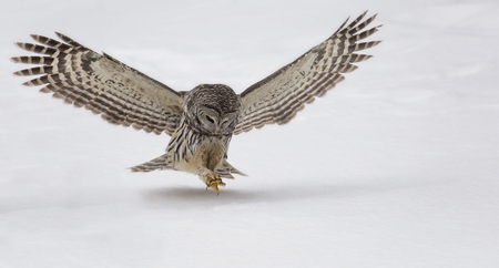 Close up image of a barred owl hunting for prey.  Winter in Wisconsin Stock Photo