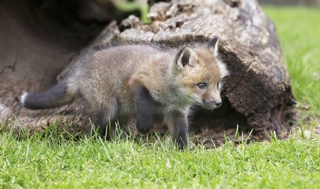 Young, red fox kit, near opening of a hollow log.  Springtime in Wisconsin Stock Photo