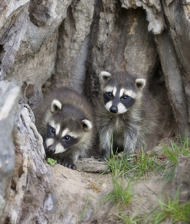 Two young raccoons playing at the base of an old stump.