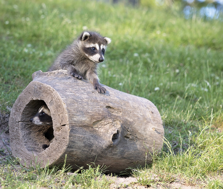 Image result for raccoons playing