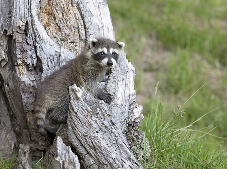 Young raccoon playing at the base of a tree stump