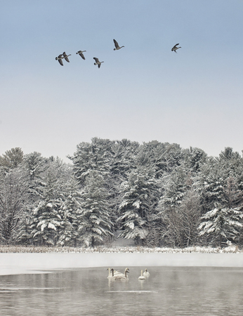 Scenic winter landscape of Trumpeter Swans with geese flying overhead. Imagens