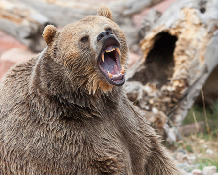 Close up image of a Grizzly Bear with mouth open