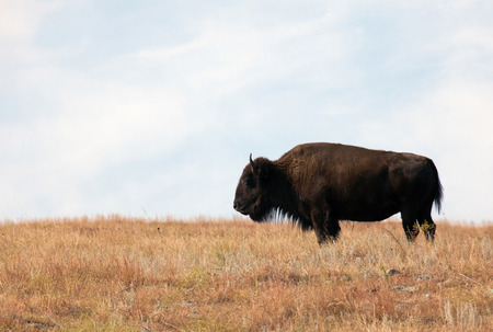 Profile of a North American Bison on an open prairie.