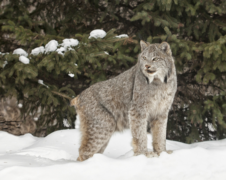 Canadian Lynx in snow