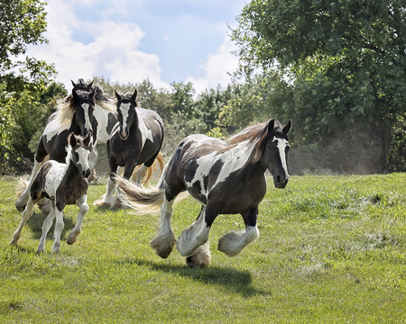 Herd of Gypsy Vanner (Irish Cob, Gypsy Cob) horses running down a hillside