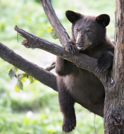 American black bear cub (brown phase), sits high in a tree on a limb.  Summer in northern Minnesota.