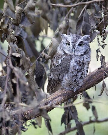 close up eyes: Eastern Screech Owl camouflaged, roosting on a branch of a tree.