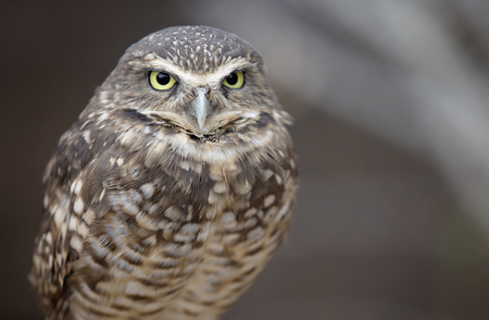 close up eyes: Close up image of a Burrowing Owl.  Shallow depth of field.
