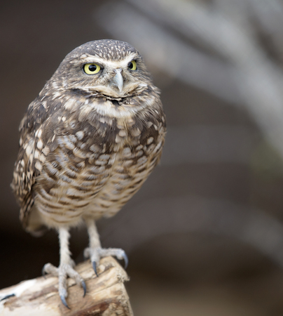close up eyes: Close up image of a Burrowing owl perched on a branch.