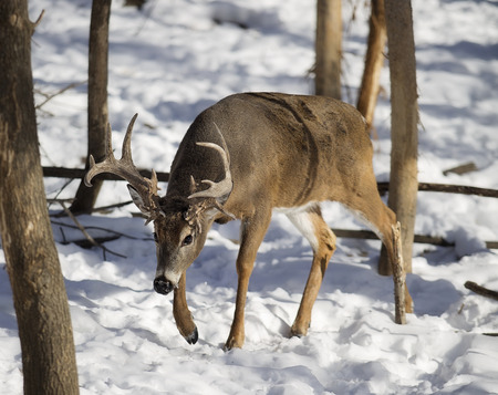White-tailed deer buck in winter.  Notable rubs on trees from rut behavior
